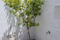 The lemon tree in the patio