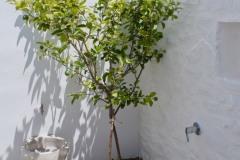 Le citronier dans le patio